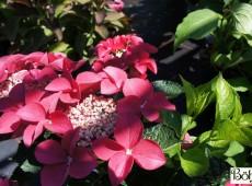 Hydrangea macrophylla 'Fasan' -Bauernhortensie-