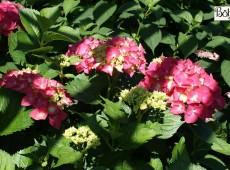 Hydrangea macrophylla 'Freudenstein' -Bauernhortensie-