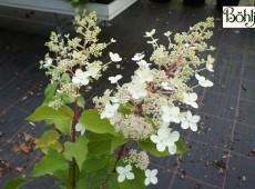 Hydrangea paniculata 'Big Ben'