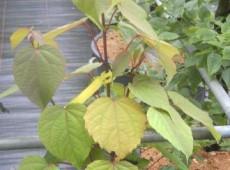 Idesia polycarpa -Orangenkirsche-
