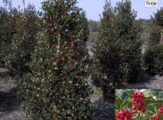 Ilex aquifolium 'Alaska' -Stechpalme-