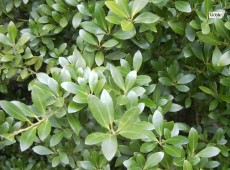 Ilex crenata -japanische Stechpalme-