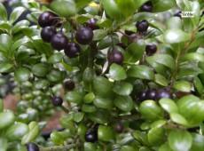 Ilex crenata 'Convexa' -japanische Stechpalme-