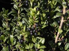 Ilex crenata 'Fastigiata' -japanische Stechpalme-