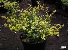 Ilex crenata 'Golden Gem' -japanische Stechpalme-
