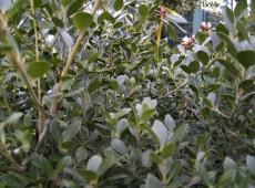 Ilex crenata 'Green Lustre' -japanische Stechpalme-