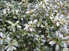 Ilex crenata 'Stokes' -japanische Stechpalme-