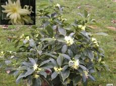 Illicium anisatum -japanischer Sternanis-