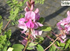 Indigofera heterantha 'Gerardiana' -Himalaya-Indigostrauch-