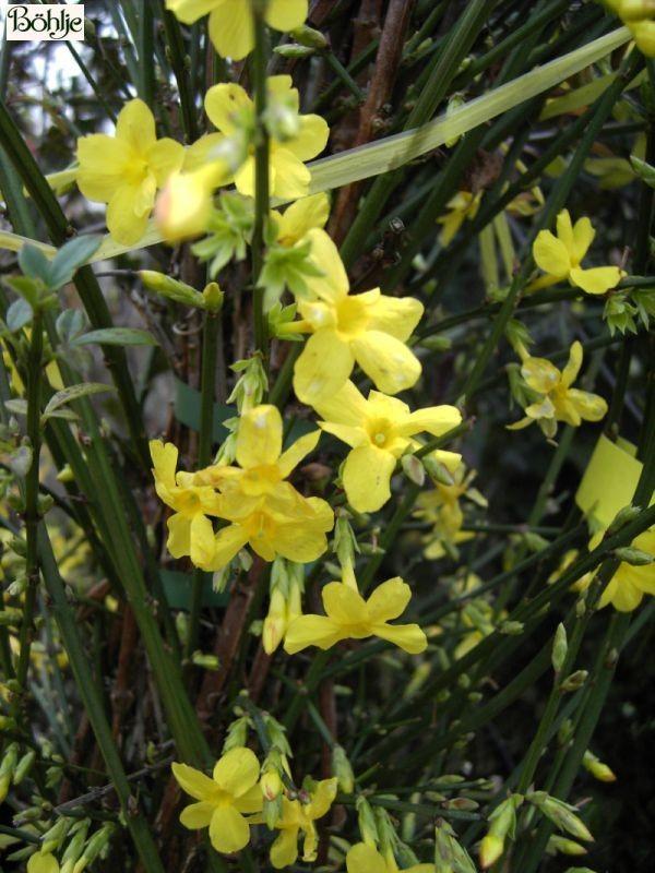 Jasminum nudiflorum -Winterjasmin-