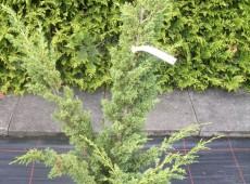 Juniperus chinensis 'Blaauw' -Blaauw's Strauchwacholder-