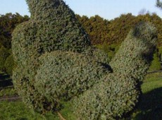 Juniperus chinensis 'Blue Alps'  (geschnitten)  -Wacholder-