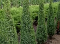 Juniperus communis 'Arnold' -Säulenwacholder-