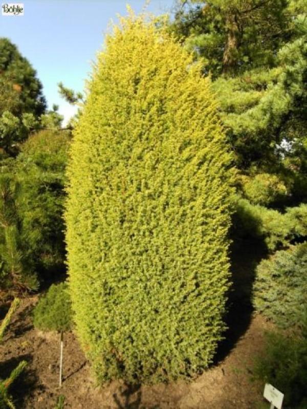 Juniperus communis 'Gold Cone' -Goldsäulenwacholder-