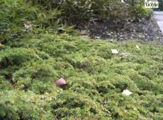 Juniperus communis 'Green Carpet' -grüner Kriechwacholder-