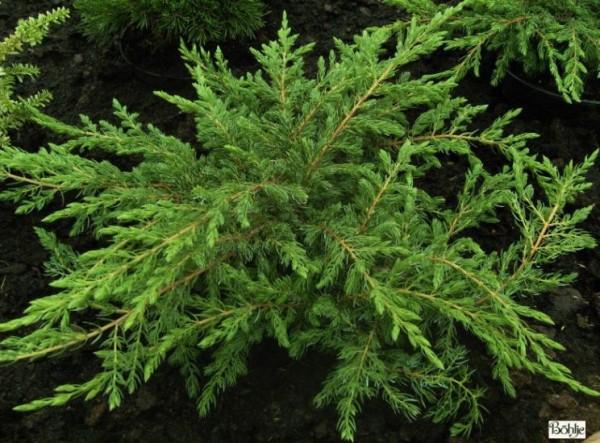 Juniperus communis 'Repanda' -Wacholder-