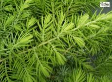 Juniperus conferta 'Allgold' -Strauchwacholder-