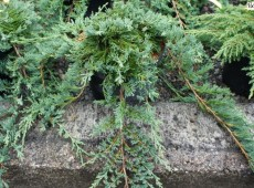 Juniperus horizontalis 'Glauca' -blauer Teppichwacholder-