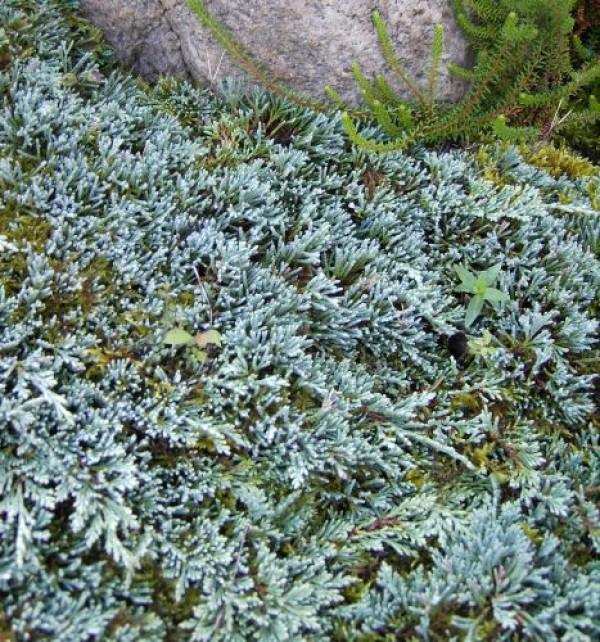 Juniperus horizontalis 'Icee Blue' (R) -S- -stahlblauer Teppichwachholder-