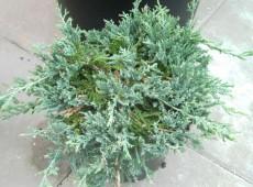 Juniperus horizontalis 'Wiltonii' -blauer Teppichwacholder-