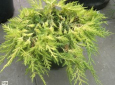 Juniperus media (pfitzeriana) 'Gold Coast'