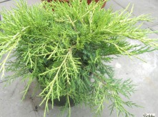 Juniperus media (pfitzeriana) 'Old Gold' -Goldwacholder-