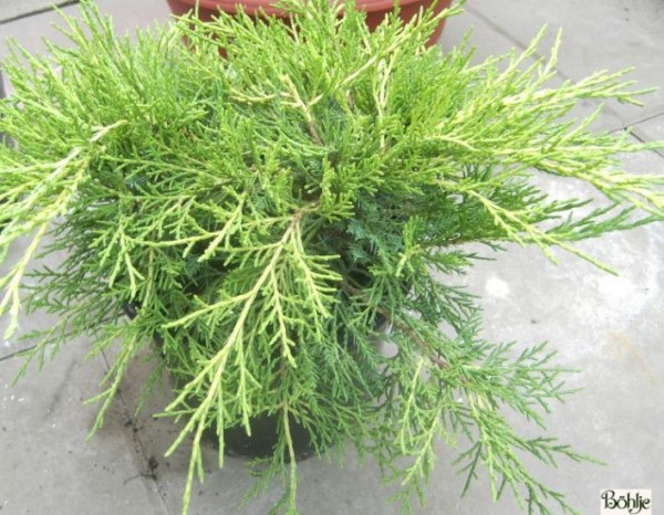 Juniperus media (pfitzeriana) 'Old Gold' -Goldwacholder-