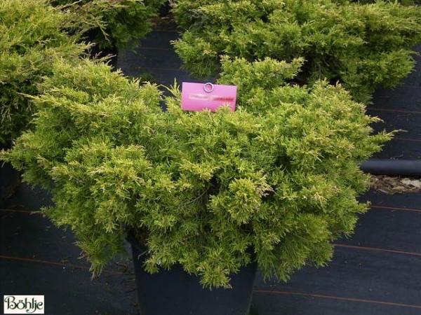 Juniperus media (pfitzeriana) 'Pfitzeriana Aurea' -gelbe Form des Pfitzer Wacholders-