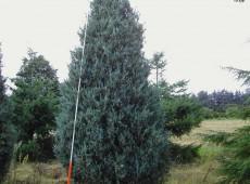 Juniperus scopulorum 'Blue Pyramid'