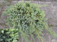 Juniperus squamata 'Blue Carpet' -Wacholder-