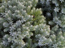 Juniperus squamata 'Blue Star' -Wacholder-
