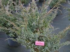Juniperus squamata 'Meyeri' -Wacholder-