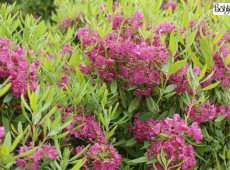 Kalmia angustifolia 'Rubra' -schmalblättrige Lorbeerrose- (Heidekrautgewächs)