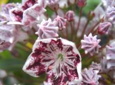 Kalmia latifolia 'Carousel' (Heidekrautgewächs)