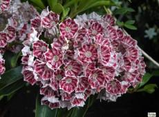 Kalmia latifolia 'Kaleidoscope' (Heidekrautgewächs)