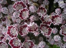 Kalmia latifolia 'Minuet' (Heidekrautgewächs)