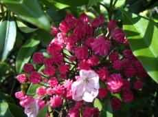 Kalmia latifolia 'Ostbo Red'