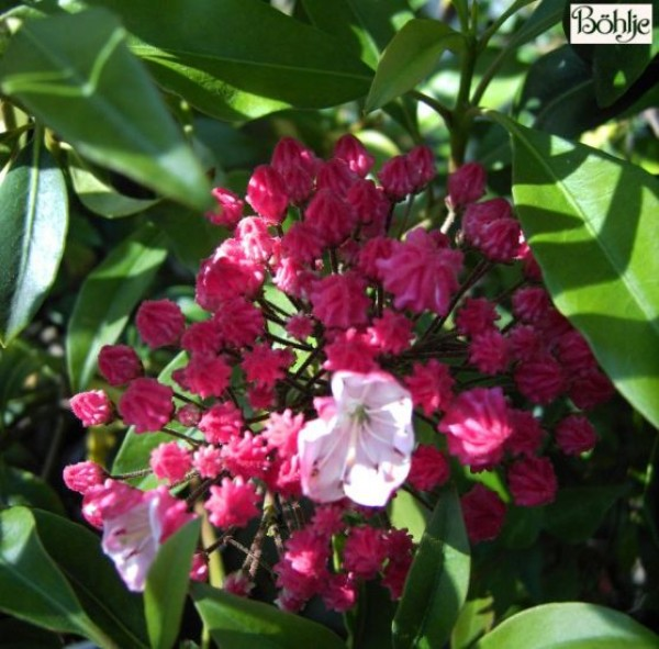 Kalmia latifolia 'Ostbo Red' (Heidekrautgewächs)