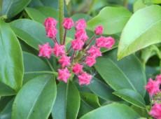 Kalmia latifolia 'Richard Jaynes' (Heidekrautgewächs)