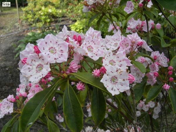 Kalmia latifolia -breitblättrige Lorbeerrose-
