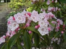 Kalmia latifolia -breitblättrige Lorbeerrose- (Heidekrautgewächs)