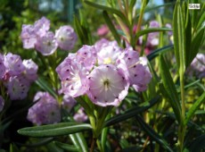 Kalmia polifolia (Heidekrautgewächs)