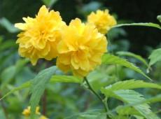 Kerria japonica 'Pleniflora' -Ranunkelstrauch-