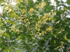Koelreuteria paniculata -Blasenbaum-
