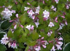 Kolkwitzia amabilis -Kolkwitzie / Perlmuttstrauch-