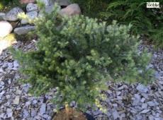 Larix kaempferi 'Nettebruch'