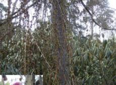 Larix kaempferi 'Pendula' -japanische Lärche-