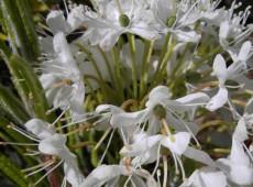 Ledum groenlandicum 'Compactum' -breitblättriger Porst- (Heidekrautgewächs)