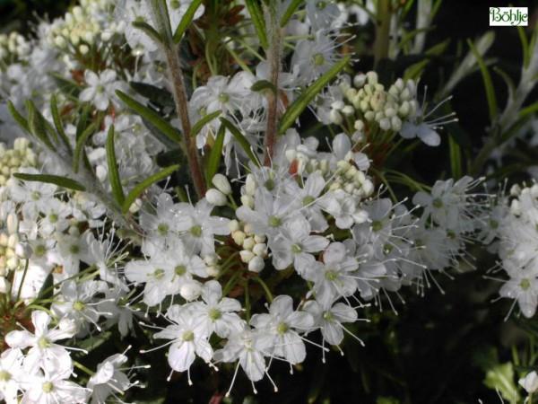 Ledum palustre -Sumpfporst-