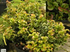 Leucothoe axillaris 'Curly Red' ®